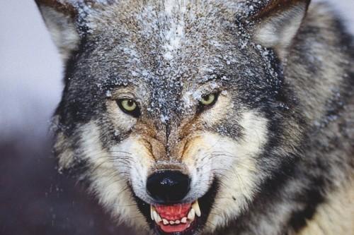 un-lobo.jpg