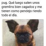 chichuahueno-con-pug