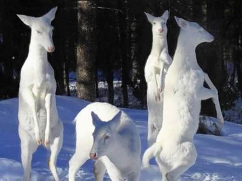 cierbo-albino.jpg