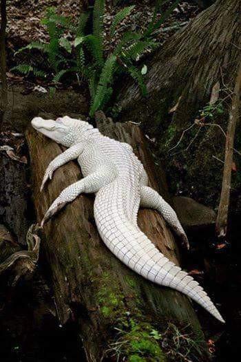 cocodrilo-albino.jpg