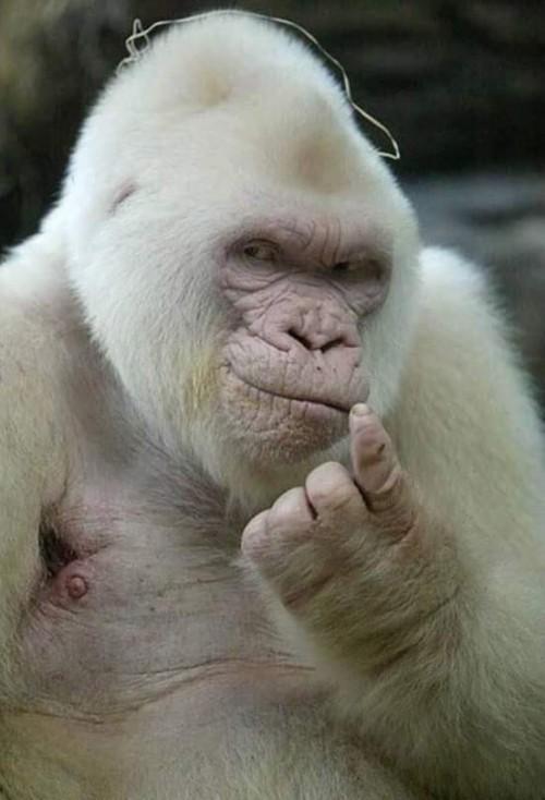 gorila-albino.jpg