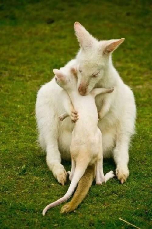 kanguro-albino.jpg