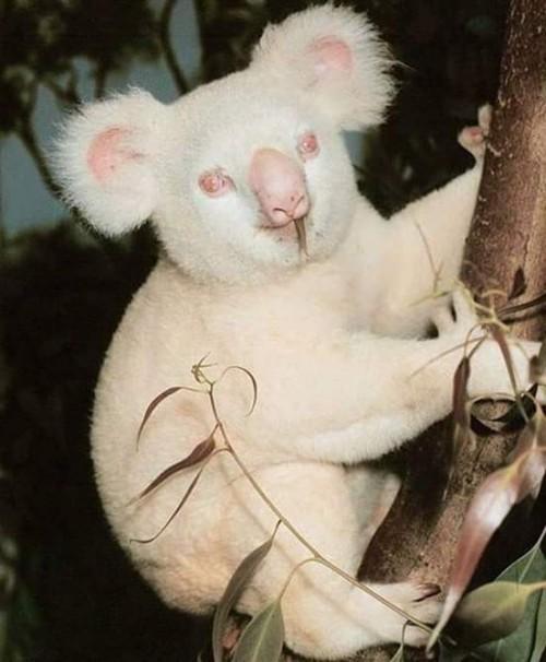 koala-albino.jpg