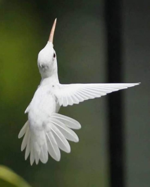 picaflor-albino.jpg