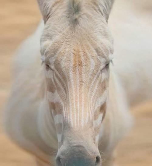 sebra-albina.jpg