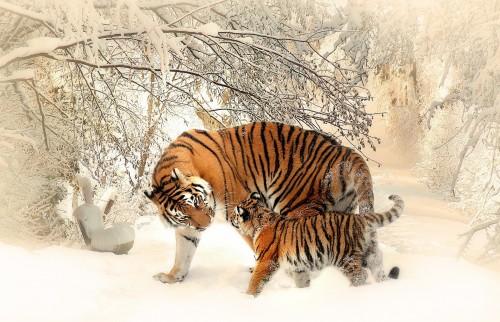 tiger-591359_1920.jpg