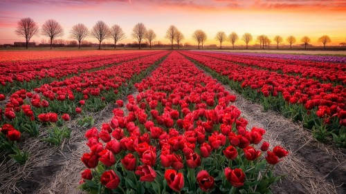tulips-field-trees.jpg