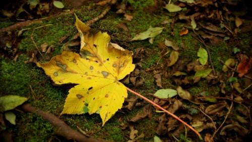 leaf_moss_autumn_maple_yellow.jpg