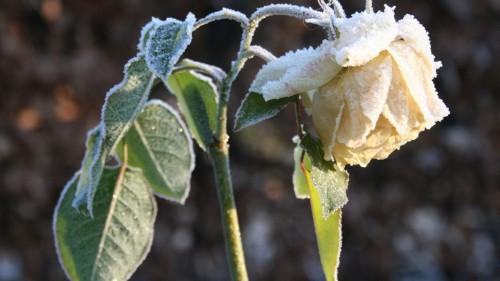 rose_flower_frosts_cold_hoarfrost.jpg