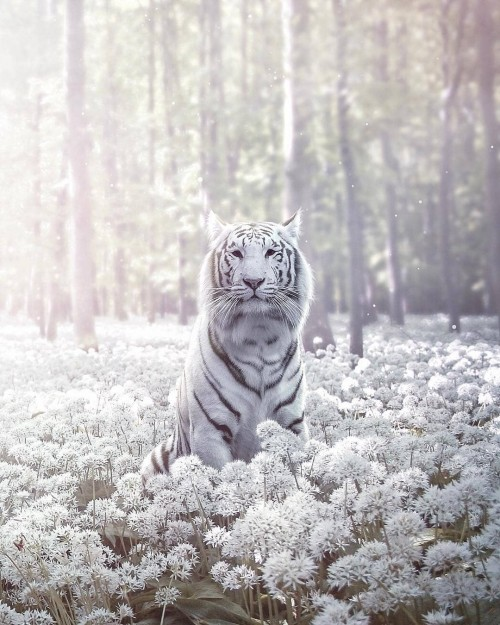 tigre-de-color-blanco.jpg