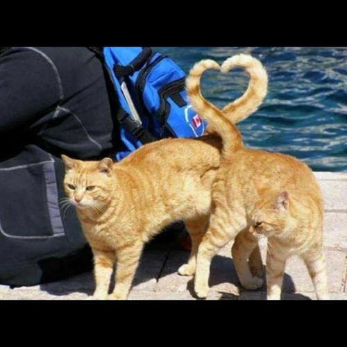 Gato - amor - corazon - love