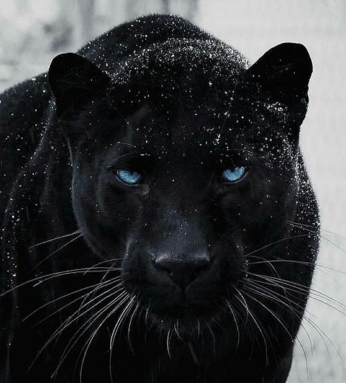 foto-con-significado-de-la-pantera-negra.jpg