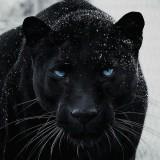 foto-con-significado-de-la-pantera-negra