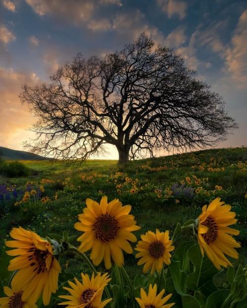 Un-paisaje-hermoso-de-atardecer-con-flores-de-girasol-arbol-2020.jpg