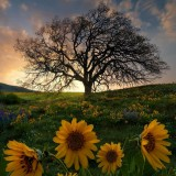 Un-paisaje-hermoso-de-atardecer-con-flores-de-girasol-arbol-2020