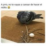 Esta-paloma-se-canso-de-armar-su-nidito