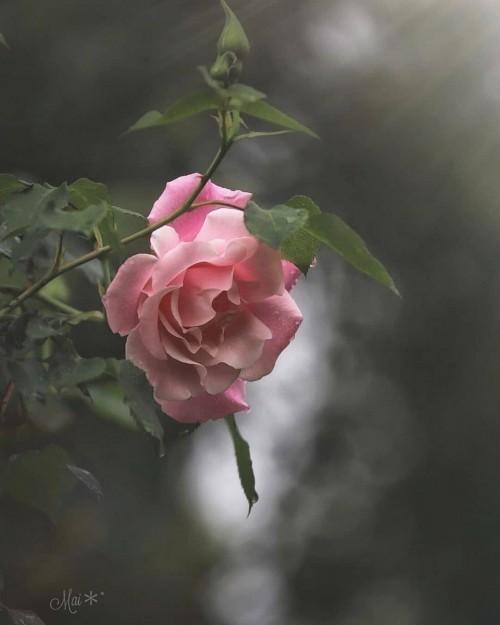 Flor-de-color-rosa-con-frase-de-amor.jpg