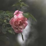Flor-de-color-rosa-con-frase-de-amor