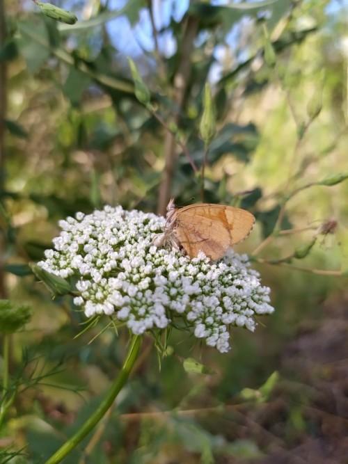 Una-mariposa-de-color-marron-posando-sobre-flores-blanca.jpg