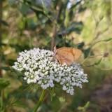 Una-mariposa-de-color-marron-posando-sobre-flores-blanca