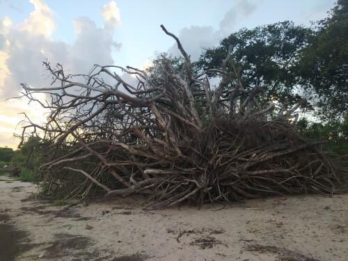 Arbol-seco-que-fue-arrastrado-por-las-corrientes-del-rio-Uruguay.jpg