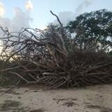 Arbol-seco-que-fue-arrastrado-por-las-corrientes-del-rio-Uruguay