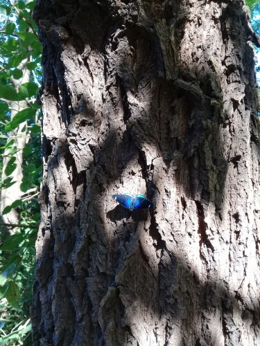 Maripoza-de-color-azul-poscando-sobre-el-tronco-de-un-enorme-arbol.jpg