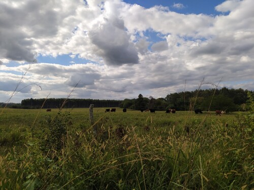 Vacas-pastando-en-el-campo.jpg
