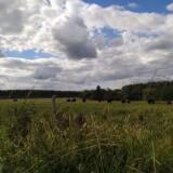 Vacas-pastando-en-el-campo