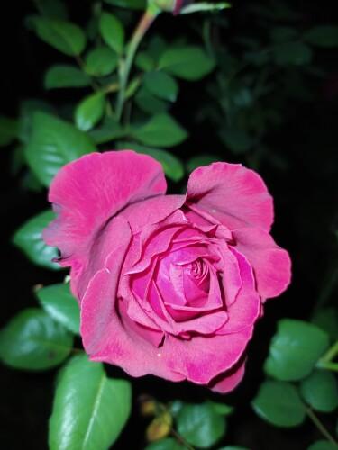 Flor-de-rosa.jpg